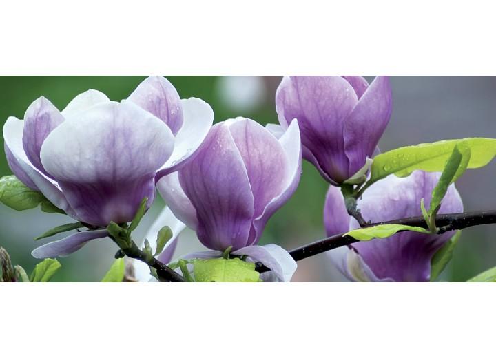 Fotobehang Bloemen, Magnolia | Paars | 250x104cm