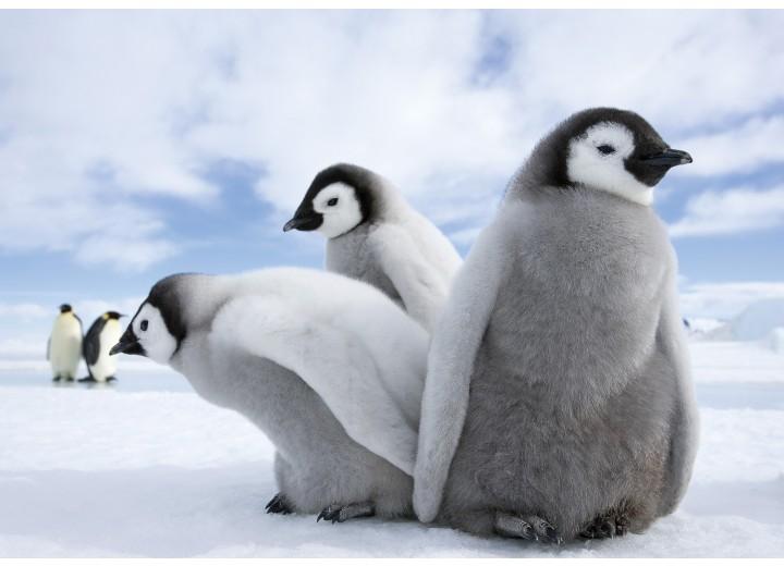Fotobehang Papier Pinguïn, Dieren | Grijs | 368x254cm