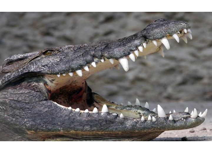 Fotobehang Vlies | Alligator | Grijs | 368x254cm (bxh)