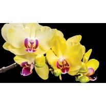 Fotobehang Papier Bloemen, Orchidee | Geel | 368x254cm