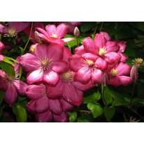 Fotobehang Bloemen | Roze | 152,5x104cm