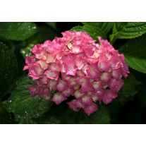 Fotobehang Papier Bloemen | Roze | 368x254cm