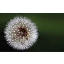 Fotobehang Papier Paardenbloem | Groen, Wit | 254x184cm