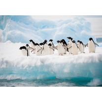Fotobehang Papier Pinguïn, Dieren | Wit | 368x254cm