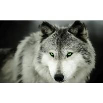 Fotobehang Wolf | Grijs | 152,5x104cm