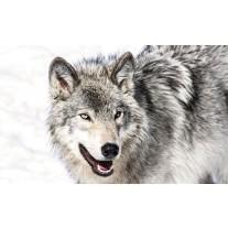 Fotobehang Papier Wolf | Grijs | 368x254cm