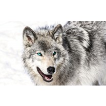 Fotobehang Papier Wolf | Grijs, Wit | 254x184cm