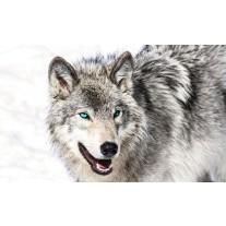Fotobehang Papier Wolf | Grijs, Wit | 368x254cm