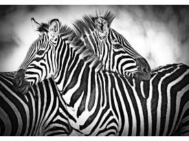 Fotobehang Vlies | Zebra | Grijs, Wit | 368x254cm (bxh)