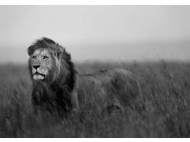 Fotobehang Vlies | Leeuw, Wild | Zwart | 368x254cm (bxh)