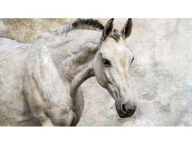 Fotobehang Vlies | Paarden | Wit | 368x254cm (bxh)