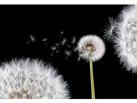 Fotobehang Vlies | Bloemen, Paardenbloem | Wit | 368x254cm (bxh)
