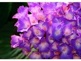 Fotobehang Bloemen | Paars, Roze | 416x254