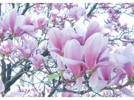 Fotobehang Vlies   Bloemen, Magnolia   Roze   368x254cm (bxh)