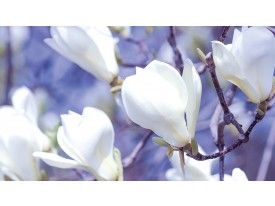 Fotobehang Bloemen, Magnolia | Wit | 104x70,5cm
