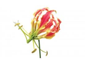 Fotobehang Vlies | Bloemen | Wit, Rood | 368x254cm (bxh)