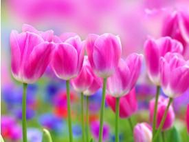 Fotobehang Bloemen, Tulpen | Roze | 152,5x104cm