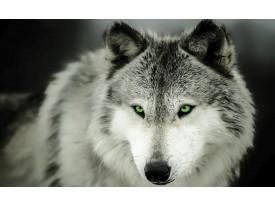 Fotobehang Wolf | Grijs | 416x254
