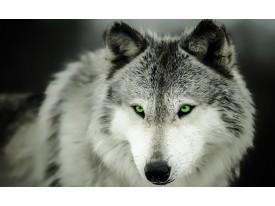 Fotobehang Vlies | Wolf | Grijs | 368x254cm (bxh)