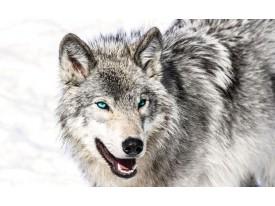 Fotobehang Wolf | Grijs, Wit | 208x146cm