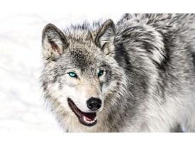 Fotobehang Vlies | Wolf | Grijs, Wit | 368x254cm (bxh)