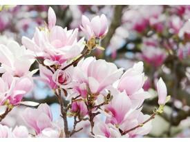 Fotobehang Magnolia, Bloemen | Roze | 312x219cm