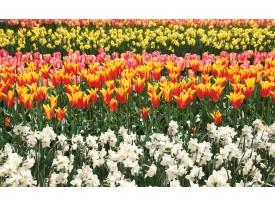 Fotobehang Vlies | Tulpen, Bloemen | Oranje | 368x254cm (bxh)