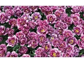 Fotobehang Bloemen | Paars, Roze | 152,5x104cm