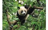 Fotobehang Vlies | Panda | Groen | 368x254cm (bxh)