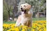 Fotobehang Vlies | Hond | Geel, Groen | 368x254cm (bxh)