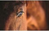 Fotobehang Paarden | Bruin | 416x254