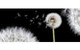 Fotobehang Bloemen, Paardenbloem | Wit | 250x104cm