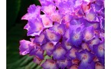 Fotobehang Vlies | Bloemen | Paars, Roze | 368x254cm (bxh)