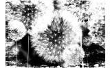 Fotobehang Paardenbloem | Zwart, Wit | 208x146cm