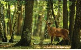Fotobehang Vlies | Bos, Hert | Groen | 368x254cm (bxh)