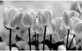Fotobehang Bloemen, Tulpen | Grijs | 416x254