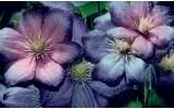 Fotobehang Papier Bloemen | Paars, Roze | 368x254cm